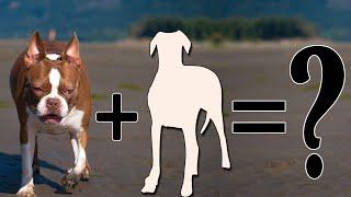 Boston Terrier Mixes: 20 Different Cross Breeds We Love