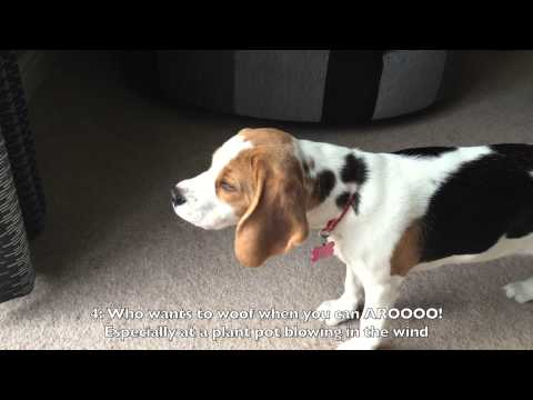 7 Reasons to get a beagle, the worlds coolest dog