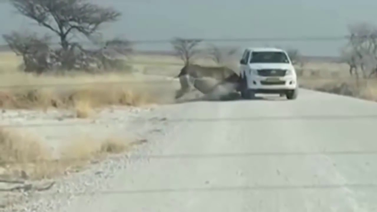 Носорог с разбегу протаранил джип с туристами
