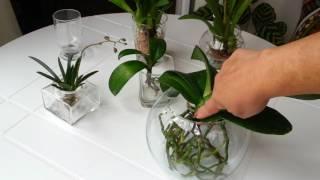 Cultivo de Orquídeas na água – Dica bafo