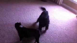 Cavalier King Charles Spaniel Vs. Boston Terrier