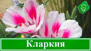 Цветы кларкия – выращивание из семян и уход, посадка кларкии в саду