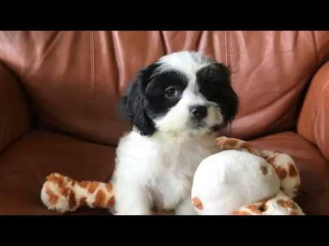 Shihtzu Poodle Pups - small and non shedding