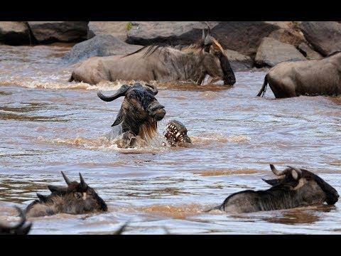 I, Predator  The Nile Crocodile CROCS IN THE ACT! National Geographic WILD Documentary
