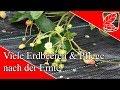 Viel Erdbeeren & Pflege nach Ernte MP3