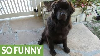 Newfoundland puppy goes crazy for surprise gift