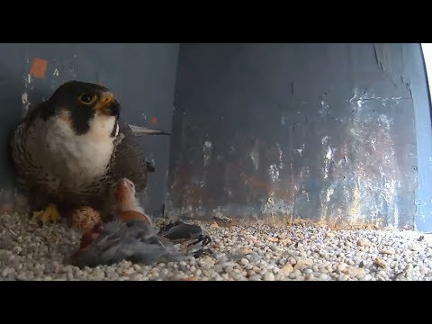 Jersey City Falcon Cam ~ Juliette's Last Moments With Junior ~ Update On His Progress 5.22.18
