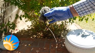 Birth control for roof rats could slow the spread of destructive pests