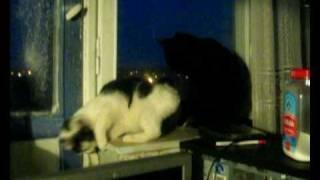 Кошка  пристает к коту
