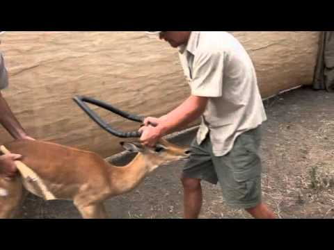 Malawi Game Capture and Release