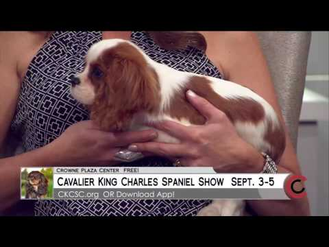 Cavalier Specialty Dog Show