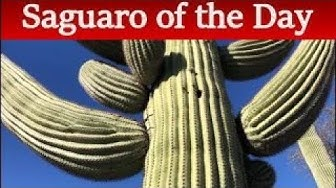 Saguaro of the Day: S. Park Centre Ave. in Green Valley, AZ