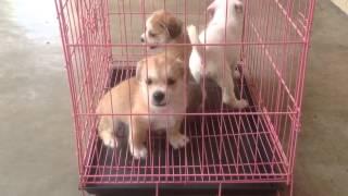 Shih Tzu Mix Puppy For Adoption - 1 Month, Shitzu Mix Pupp..
