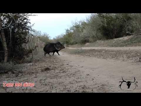 Peccary Hunting  - Tiro a Pecari 40 Mts