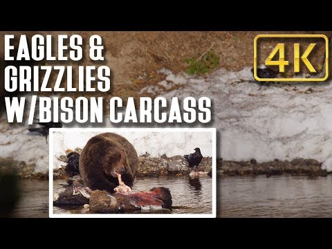 Eagles and Grizzlies on a Bison in Yellowstone: Nature Relaxation Therapy