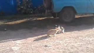 Бой кошек до крови