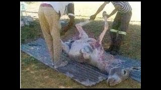 İşte Bu Yüzden İslam Eşek Etini Yemeyi Yasaklar ?