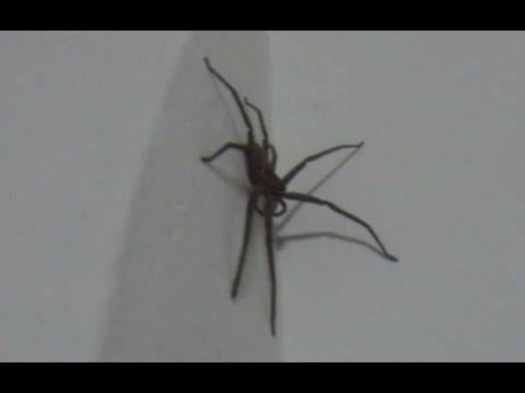 Нападение пауков. Смешное видео