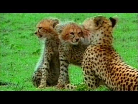 Живая энциклопедия: Львы, Гепарды, Леопарды, Гиены - Видео онлайн