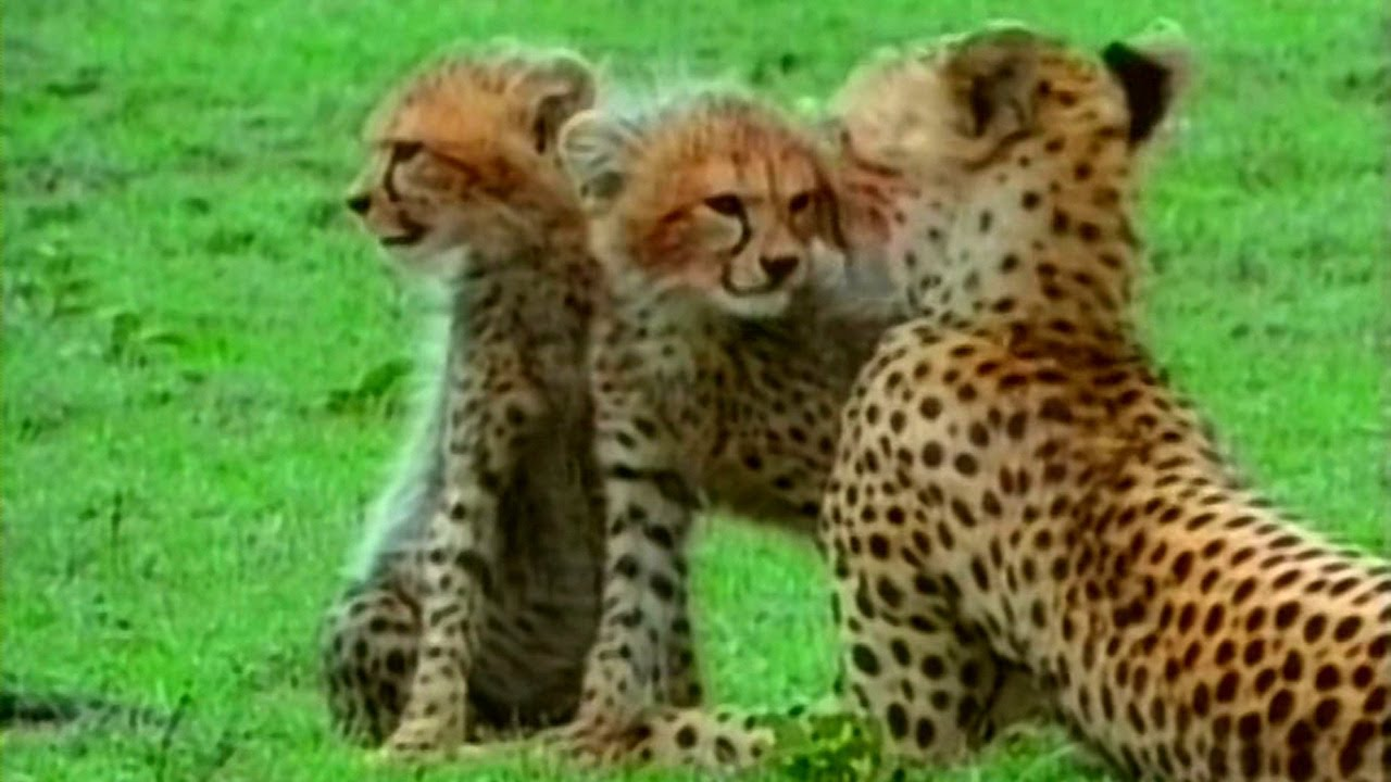 Живая энциклопедия: Львы, Гепарды, Леопарды, Гиены