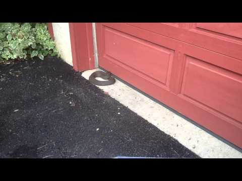 Northern Water Snake Encounter - Pocopson PA