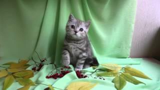 Продажа. британские котята