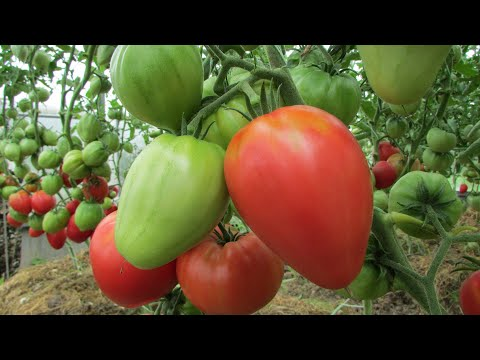 Проверенные сорта томатов: обзор самых лучших