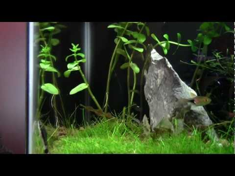 Trimming Bacopa