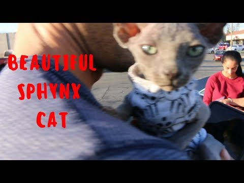 I BOUGHT A SPHYNX CAT!!