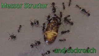 Муравьи охотятся на Мраморного таракана