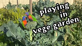 ❤️AUS parrots playing in veget…