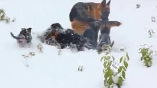 Купить щенка немецкой овчарки в Оренбурге