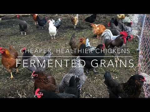Ferment Your Chicken Feed - YouTube