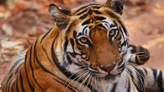 10 Tiger Sightings | Kanha & Bandhavgarh