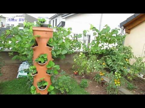 Erdbeeren im Rohr / Vertikale Garten .