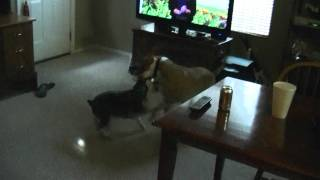 "Miniature Schnauzer ""beaux"" Plays With Pit Bull ""max"""
