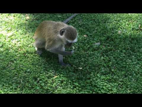 Don't feed the monkeys in Zimbabwe
