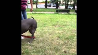 #pitbull #jumping ##park #friendly #kids #blluenose
