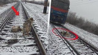 Der Zug näherte sich immer mehr, doch die Hunde rührten sich keinen Zentimeter. Der Grund ist..