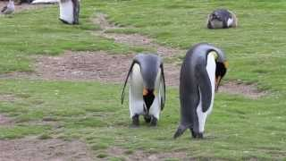 King Penguins Mating Start To Finish, Then They Switch!