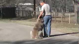 Denton, Dallas / Fort Worth Dog Training - Natasha The Caucasian Ovcharka Aka Caucasian Shepherd Dog