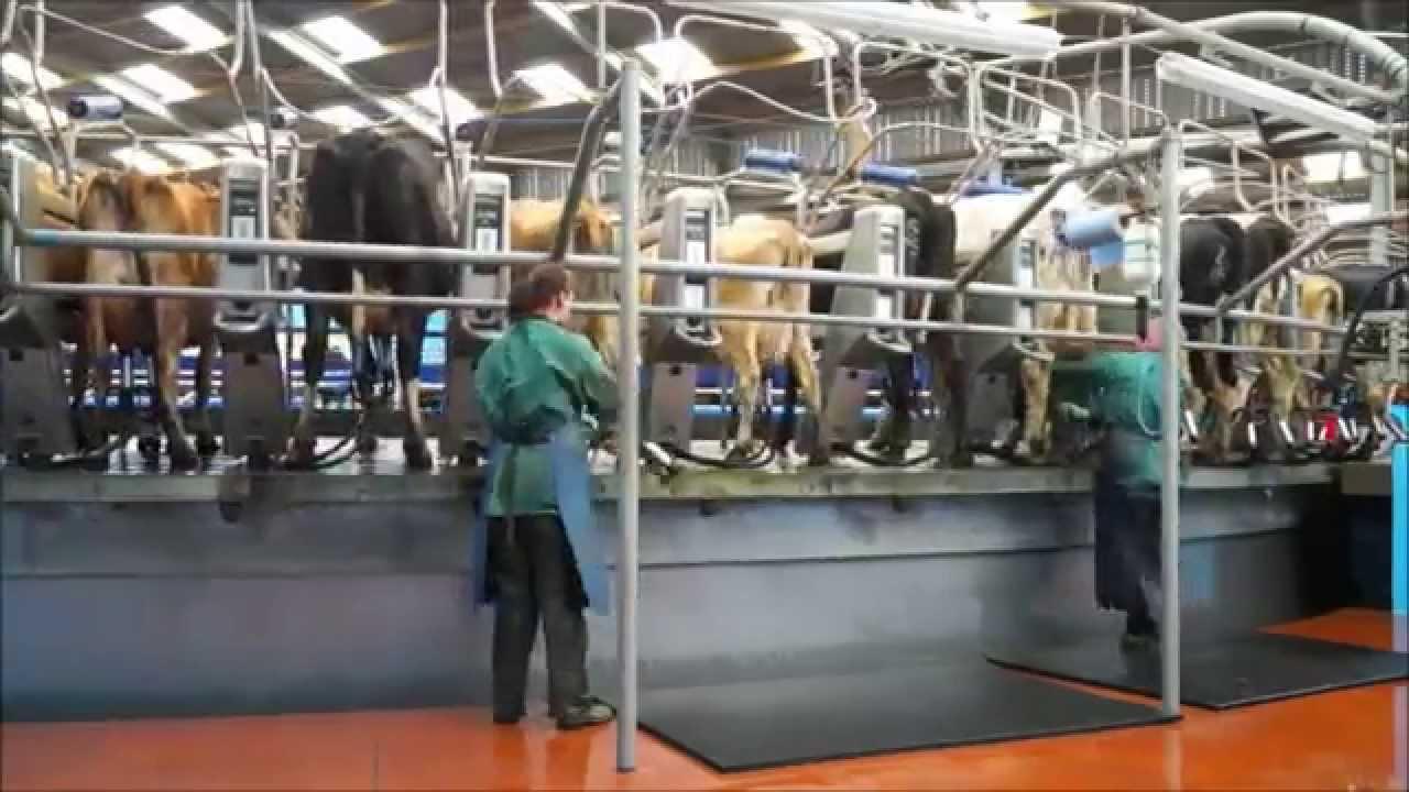 Resultado de imagem para vaca sendoordenhadas