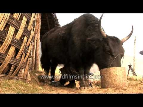 Burro cabron from YouTube · Duration:  27 seconds