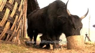 This is how Arunachali milk mithun. Mithun is an important bovine s...