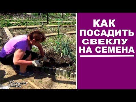 Семена свеклы своими руками . Как посадить свеклу на семена