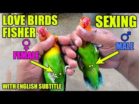 LOVE BIRDS mai male and female ki pehchan | sexing in love birds | video in URDU/Hindi