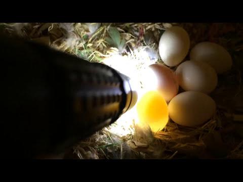 How to check for fertile eggs in the nest box. Lovebird