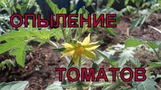 видео опыление помидоров в теплице