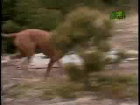 Breed All About It - Rhodesian Ridgeback
