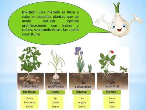 Todas las formas de reproduccion asexual en vegetales